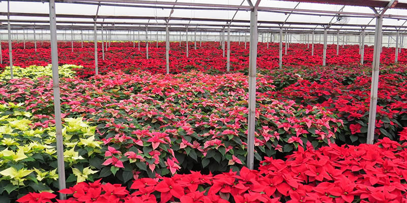 Theafterhoursflowerscom Selecting And Caring For Your Poinsettia