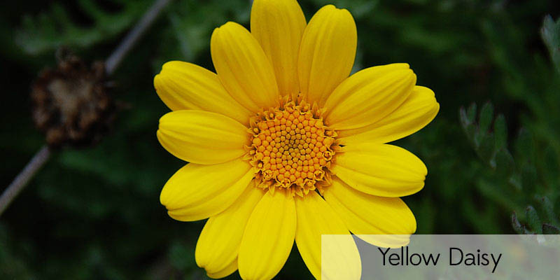 Theafterhoursflowers cut flower types of asia flower name yellow daisy mightylinksfo