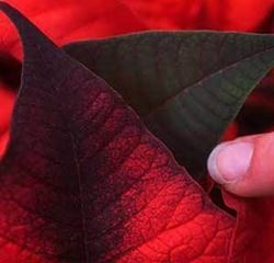 Selecting and Caring for your Poinsettia